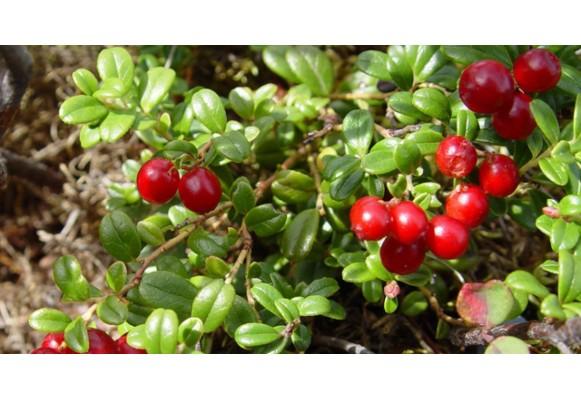 Червена боровинка за по-добро женско урогенитално здраве